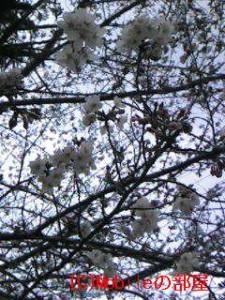 桜1分咲きの画像