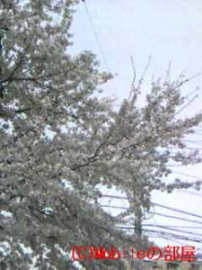 桜満開?の画像